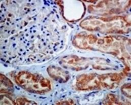 Immunohistochemistry (Formalin/PFA-fixed paraffin-embedded sections) - Anti-TTC11/FIS1 antibody [EPR8412] - BSA and Azide free (ab238929)