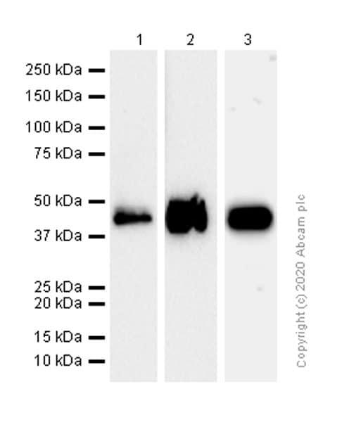 Western blot - Anti-CLN5 antibody [EPR12197(B)] - BSA and Azide free (ab238931)