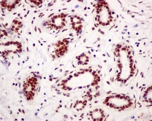 Immunohistochemistry (Formalin/PFA-fixed paraffin-embedded sections) - Anti-CPSF6 antibody [EPR12898] - BSA and Azide free (ab238933)