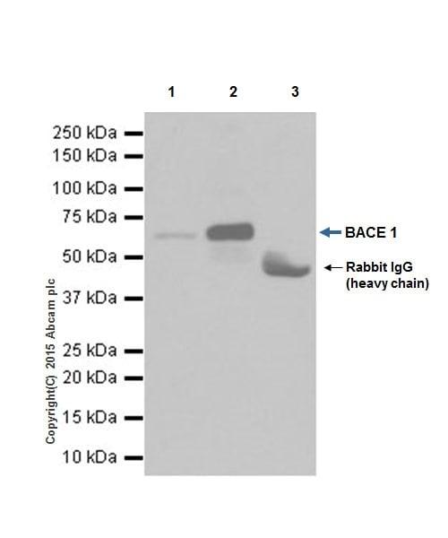Immunoprecipitation - Anti-BACE1 antibody [EPR19523] - BSA and Azide free (ab238937)