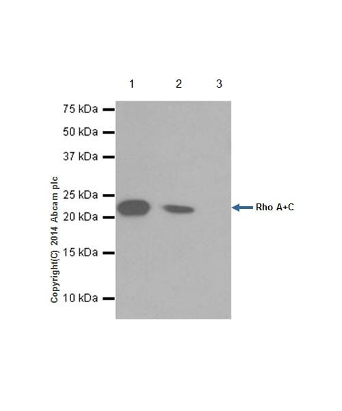 Immunoprecipitation - Anti-RhoA + RhoC antibody [EPR18133] - BSA and Azide free (ab238943)
