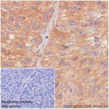 Immunohistochemistry (Formalin/PFA-fixed paraffin-embedded sections) - Anti-RhoA + RhoC antibody [EPR18133] - BSA and Azide free (ab238943)