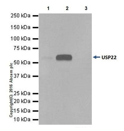 Immunoprecipitation - Anti-USP22 antibody [EPR18945] - BSA and Azide free (ab238948)