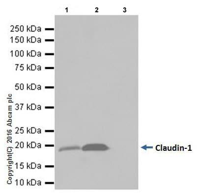 Immunoprecipitation - Anti-Claudin 1 antibody [EPRR18871] - BSA and Azide free (ab238949)