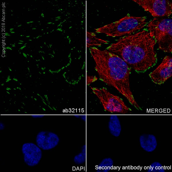 Immunocytochemistry/ Immunofluorescence - Anti-Paxillin antibody [E228] - BSA and Azide free (ab238950)