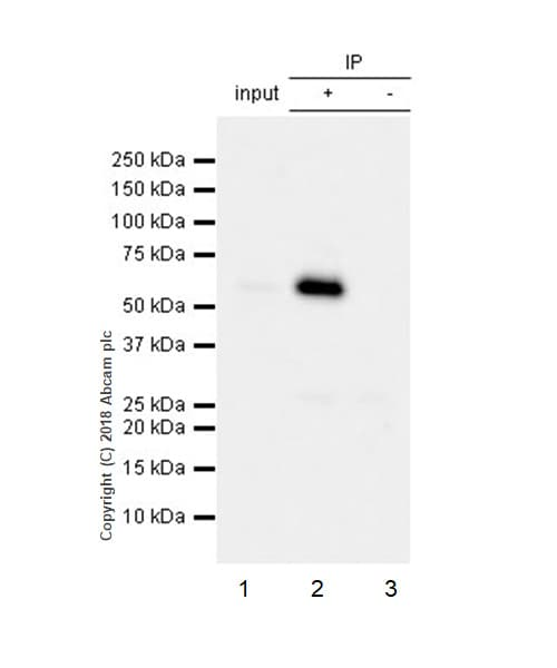 Immunoprecipitation - Anti-Paxillin antibody [E228] - BSA and Azide free (ab238950)