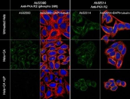 Immunocytochemistry/ Immunofluorescence - Anti-PKA R2/PKR2 (phospho S99) antibody [E151] - BSA and Azide free (ab238951)