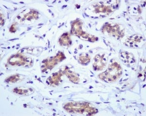 Immunohistochemistry (Formalin/PFA-fixed paraffin-embedded sections) - Anti-GRP94 antibody [EPR3988] - BSA and Azide free (ab238959)