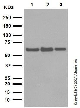 Western blot - Anti-NOX2/gp91phox antibody [EPR6991] - BSA and Azide free (ab238964)