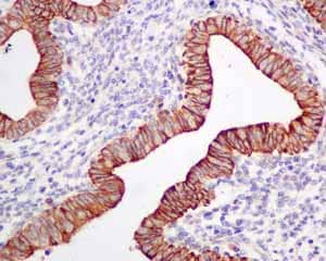 Immunohistochemistry (Formalin/PFA-fixed paraffin-embedded sections) - Anti-Frizzled 8 antibody [EPR7308(2)] - BSA and Azide free (ab238967)