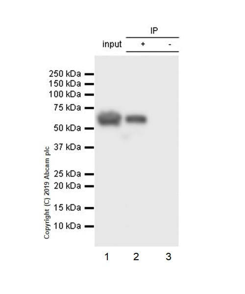 Immunoprecipitation - Anti-xCT antibody [EPR8290(2)] - BSA and Azide free (ab238969)