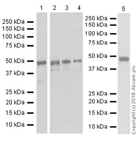 Western blot - Anti-pro Caspase-1 + p10 + p12 antibody [EPR16883] - BSA and Azide free (ab238972)