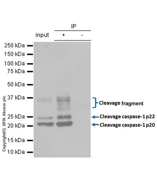 Immunoprecipitation - Anti-Caspase-1 antibody [EPR19672] - BSA and Azide free (ab238979)