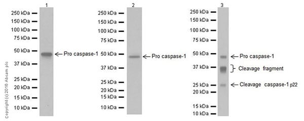 Western blot - Anti-Caspase-1 antibody [EPR19672] - BSA and Azide free (ab238979)