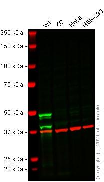 Western blot - Anti-Caspase-1 antibody [EPR19672] - BSA and Azide free (ab238979)