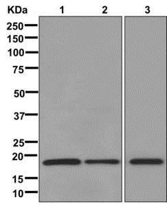 Western blot - Anti-Cyclophilin B antibody [EPR12703(B)] - BSA and Azide free (ab238991)