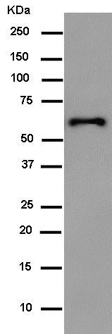 Western blot - Anti-HA tag antibody [EPR4095] - BSA and Azide free (ab238998)