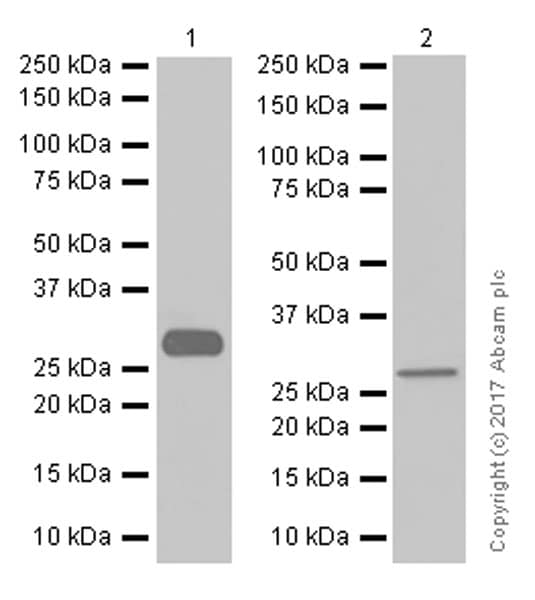 Western blot - Anti-Collagen II antibody [EPR12268] - BSA and Azide free (ab239007)