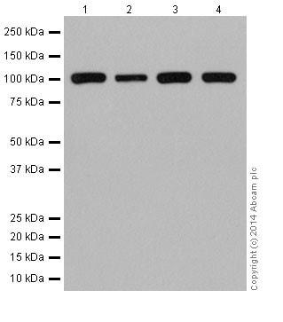 Western blot - Anti-GEN1 antibody [EPR16863] - BSA and Azide free (ab239013)