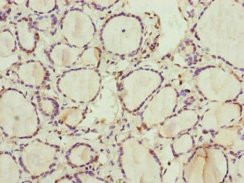 Immunohistochemistry (Formalin/PFA-fixed paraffin-embedded sections) - Anti-RNF11 antibody (ab239023)