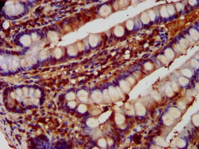 Immunohistochemistry (Formalin/PFA-fixed paraffin-embedded sections) - Anti-Aspartyl Aminopeptidase antibody (ab239031)