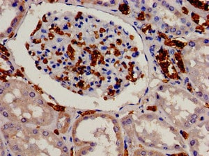 Immunohistochemistry (Formalin/PFA-fixed paraffin-embedded sections) - Anti-EIF3S1/EIF3J antibody (ab239071)