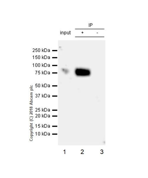 Immunoprecipitation - Anti-CD86 antibody [EPR21962] (ab239075)