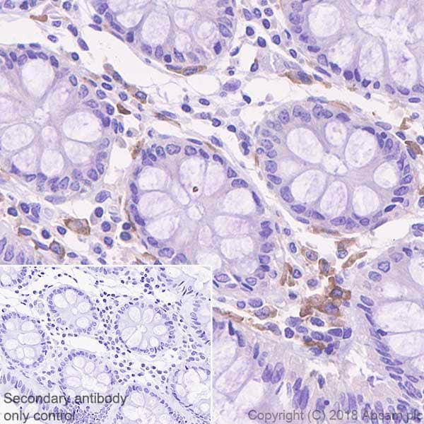 Immunohistochemistry (Formalin/PFA-fixed paraffin-embedded sections) - Anti-CSF-1-R antibody [EPR20634] (ab239079)