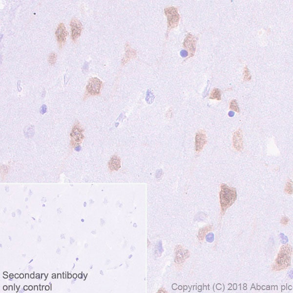Immunohistochemistry (Formalin/PFA-fixed paraffin-embedded sections) - Anti-NeuN antibody [EPR21902] - BSA and Azide free (ab239345)