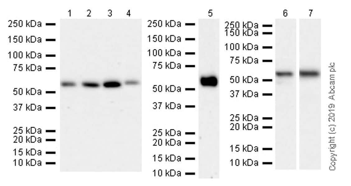 Western blot - Anti-TRAF3 antibody [EPR22992-93] (ab239357)