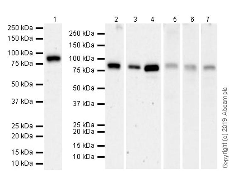 Western blot - Anti-STAT1 antibody [EPR23049-111] (ab239360)