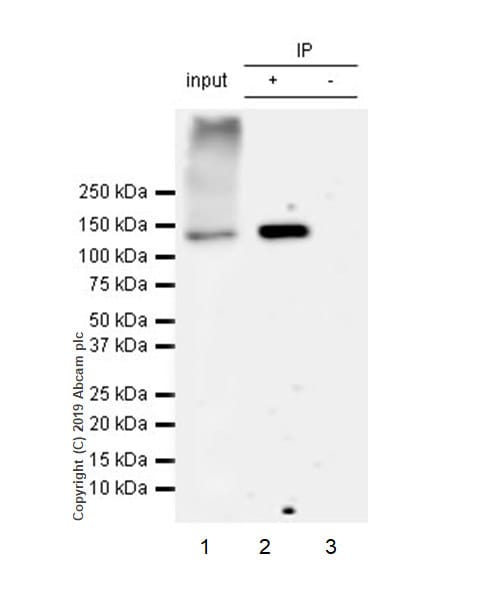 Immunoprecipitation - Anti-HDAC6 antibody [EPR22951-29] (ab239362)