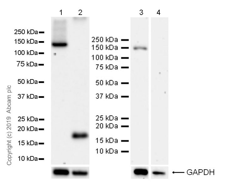 Western blot - Anti-HDAC6 antibody [EPR22951-29] (ab239362)