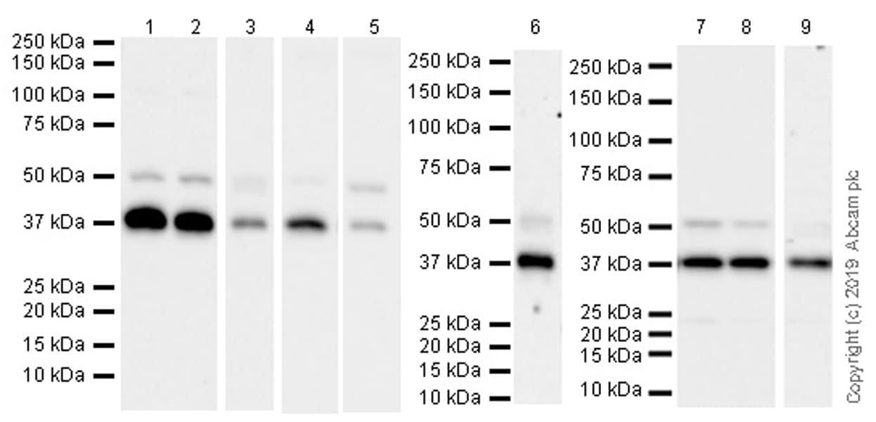 Western blot - Anti-Cdk9 antibody [EPR22956-37] - ChIP Grade (ab239364)