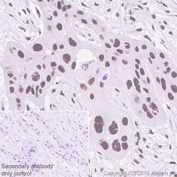 Immunohistochemistry (Formalin/PFA-fixed paraffin-embedded sections) - Anti-Cdk9 antibody [EPR22956-37] - ChIP Grade (ab239364)