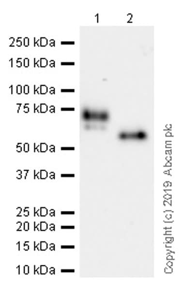 Western blot - Anti-MARCO/Macrophage receptor with collagenous structure antibody [EPR22944-64] (ab239369)