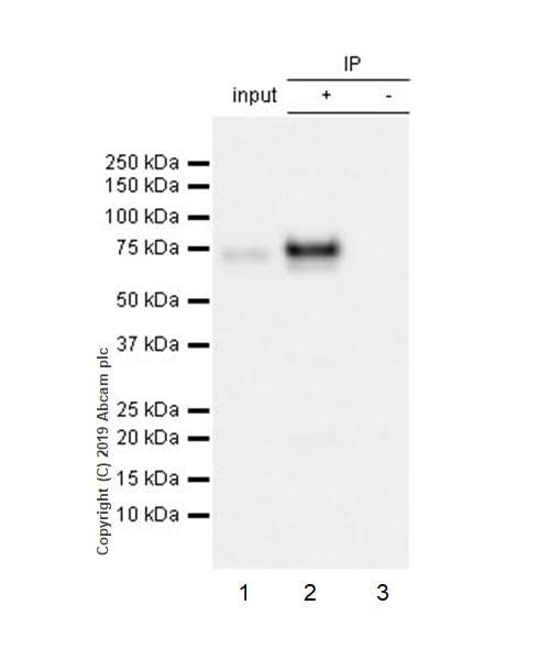 Immunoprecipitation - Anti-MARCO antibody [EPR22944-64] (ab239369)