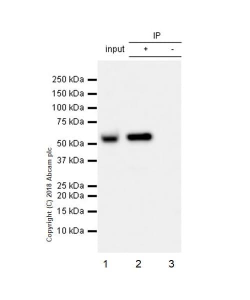 Immunoprecipitation - Anti-GSDMD antibody [EPR20859] - BSA and Azide free (ab239377)