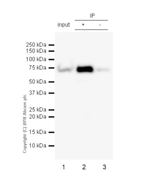Immunoprecipitation - Anti-Lamin B1 antibody [EPR22165-121] - BSA and Azide free (ab239399)