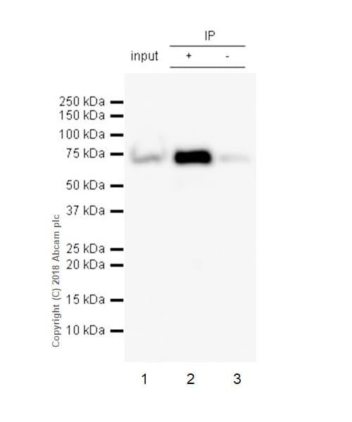 Immunoprecipitation - Anti-Lamin B1 antibody [EPR22165-121] - BSA and Azide free (ab239399)