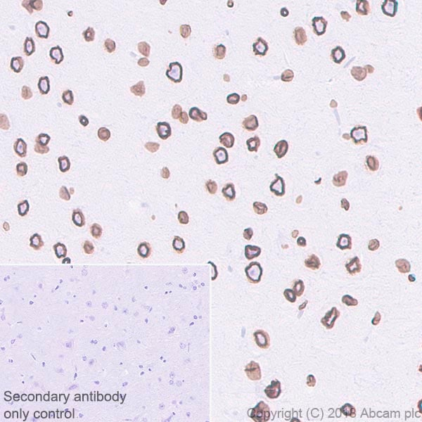 Immunohistochemistry (Formalin/PFA-fixed paraffin-embedded sections) - Anti-Lamin B1 antibody [EPR22165-121] - BSA and Azide free (ab239399)