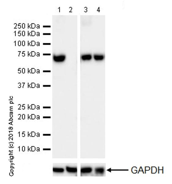 Western blot - Anti-Lamin B1 antibody [EPR22165-121] - BSA and Azide free (ab239399)