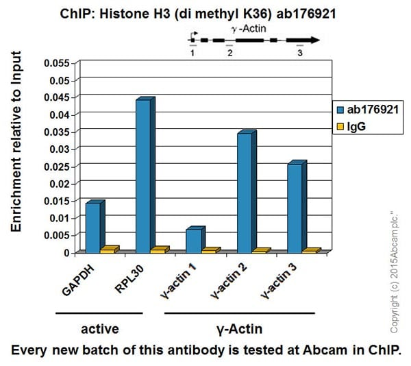 ChIP - Anti-Histone H3 (di methyl K36) antibody [EPR16994(2)] - BSA and Azide free (ab239408)