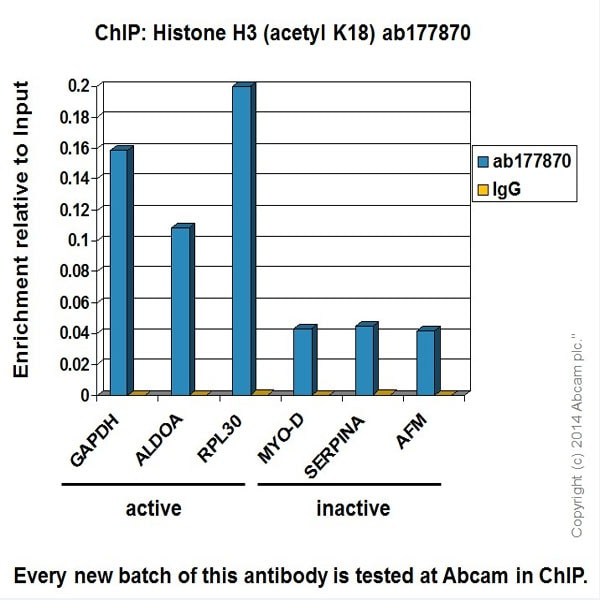 ChIP - Anti-Histone H3 (acetyl K18) antibody [EPR16595] - BSA and Azide free (ab239414)