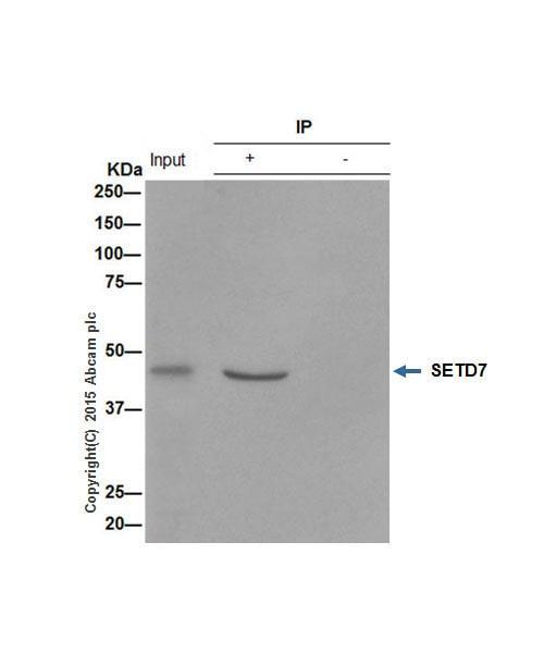 Immunoprecipitation - Anti-SET7 antibody [EPR5574] - BSA and Azide free (ab239434)