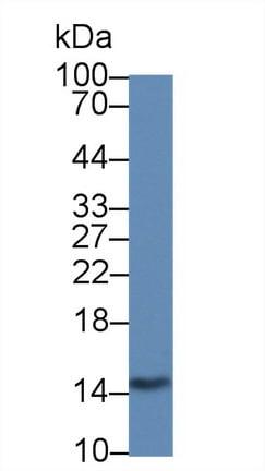 Western blot - Anti-Galectin 2 antibody [C6] (ab239501)