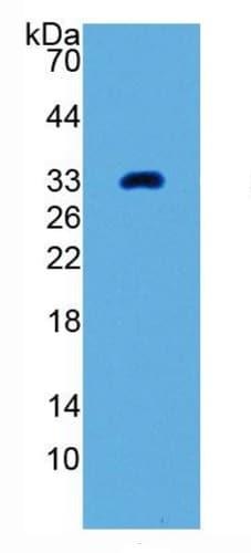 Western blot - Anti-GDF11 antibody [C4] (ab239515)