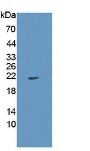 Western blot - Anti-IL-1 alpha antibody [C1] (ab239517)