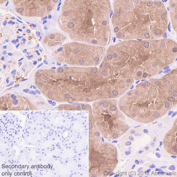 Immunohistochemistry (Formalin/PFA-fixed paraffin-embedded sections) - Anti-ASPA antibody [EPR22072] - BSA and Azide free (ab239522)