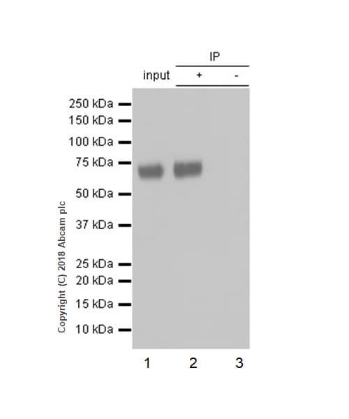 Immunoprecipitation - Anti-ICOS Ligand/ICOSL antibody [EPR20786] - BSA and Azide free (ab239524)